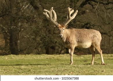 A stunning Milu Deer also lnown as Pere David's Deer) (Elaphurus davidianus) grazing in a pasture.