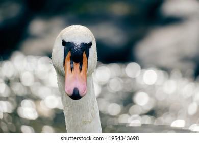 Stunning mute swan detail in the backlight  (Cygnus olor)