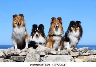 Stunning nice fluffy sable black white, tricolor shetland sheepdog, sheltie sitting on a rock pier on a hot sunny summer day.Small, collie,lassie dog smiling with blue sky and sea Panga, Estonia