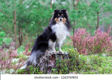 Stunning nice fluffy sable white black shetland sheepdog, sheltie sitting in the forest on a sunny autumn day. Small, little collie, lassie dog smiling with background of pink blooming heather