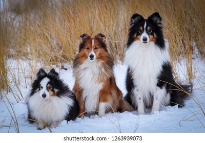 Stunning nice fluffy sable white and black tricolor shetland sheepdog, sheltie sitting on the snow on a cold sunny winter day. Small little collie dogs portrait outside on frozen sea