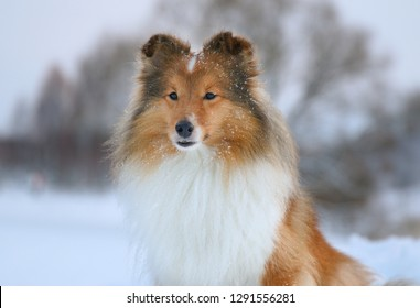 Stunning nice fluffy sable white and black tricolor shetland sheepdog, sheltie sitting outdoors on a snow on a cold sunny winter. Small lassie, little collie dogs pets with sweet pretty face outside