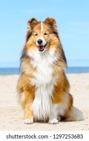 Stunning nice fluffy sable white shetland sheepdog, sheltie standing sitting outside a sunny day. Small lassie, little collie dog smiling outdoors on a beach with blue heaven sky background