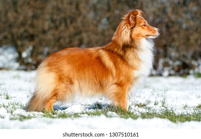 Stunning nice fluffy sable white and black tricolor shetland sheepdog, sheltie standing outdoors on a snow on a cold sunny winter. Small lassie, little collie dogs pets with sweet pretty face outside