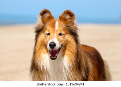 Stunning nice fluffy sable white shetland sheepdog, sheltie outside portrait on a sunny windy day. Small lassie, little collie dog smiling outdoors on a beach with blue heaven sky sea background