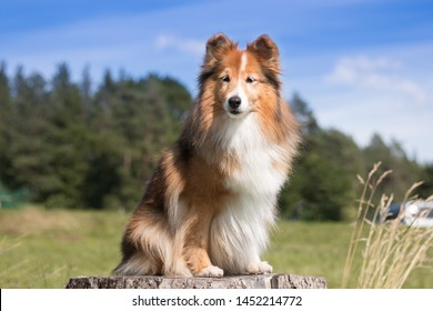 Stunning nice fluffy sable white shetland sheepdog, sheltie outside portrait on a sunny summer day. Small lassie, little collie dog smiling outdoors with blue heaven sky green forest background