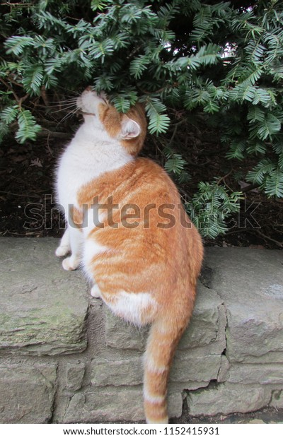 A stunning orange and white cat modeling, she was a natural