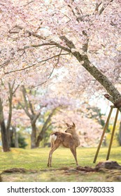Stunning photography of a deer stands under full bloom cheery blossom trees in early April (spring season) at Nara park, Nara, Japan.