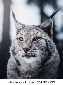 A stunning picture of a Lynx
