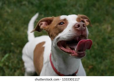 Stunning Pitbull Portrait - Happy Dog with Slurping Tongue
