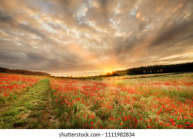Stunning poppy field at sunrise in Norfolk UK. Large field of flowers with a path and orange sun light rays as dawn breaks over the trees