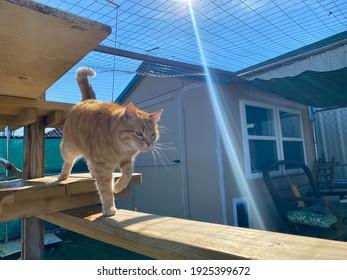 Stunning portrait of charming orange tabby cat walking around the outdoor feline enclosure with bright sunbeam shining down