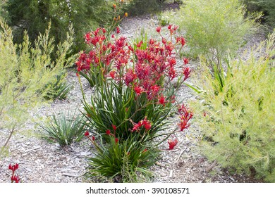 Stunning red kangaroo paws Anigozanthos rufus Labill blooming in King's park Botanic gardens , Perth, Western Australia in spring are a striking native  landscape plant with low water requirements.