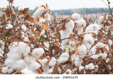 Stunning rural closeup on flowers of cotton harvest in northern Israel.