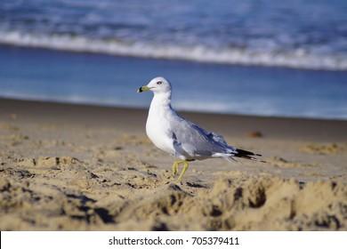 Stunning Seagulls of Virginia Beach in the Golden Hour Spotlight.