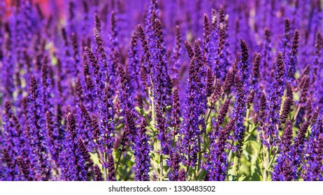 A stunning small growing Salvia with long stems of dark blue flowers which will flush all through the season if plant is regularly deadheaded
