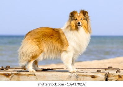 Stunning smart nice fluffy sable white shetland sheepdog, sheltie standing on a pier in a sunny day. Small, little collie dog smiling on a beach