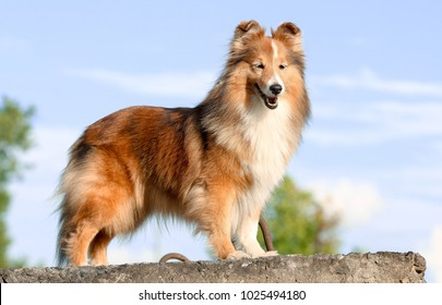 Stunning smart nice fluffy sable white shetland sheepdog, sheltie standing on the rock on a sunny day. Small, little collie dog, lassie portrait in summer time with blue heaven