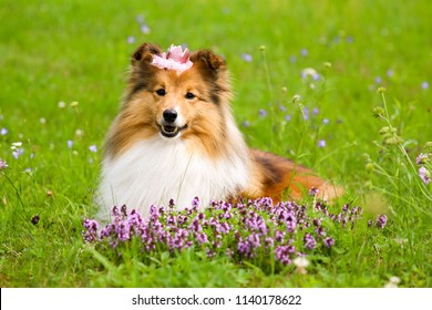Stunning smart nice fluffy sable white shetland sheepdog, sheltie lies on the green grass with princess crown on a sunny day. Small, little smiling collie dog portrait in summer time