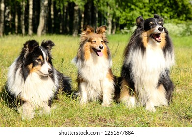 Stunning smart nice fluffy sable black white, tricolor shetland sheepdog, sheltie sitting on a grass field in a sunny summer day. Small, little collie, lassie dog smiling with green background