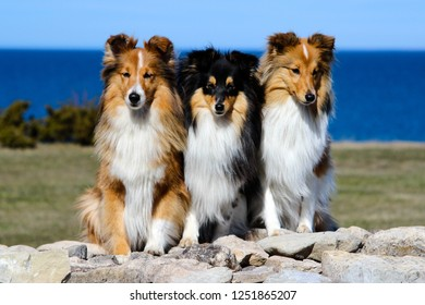 Stunning smart nice fluffy sable black white, tricolor shetland sheepdog, sheltie sitting on a rock pier in a sunny summer day.Small, little collie, lassie dog smiling with blue sky and sea background