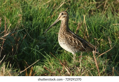 A stunning Snipe (Gallinago gallinago) standing at the waters edge on a small grassy mound.