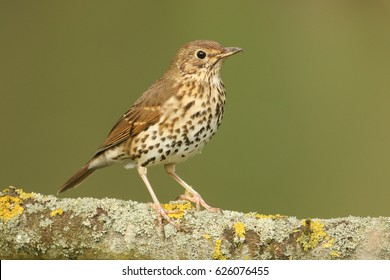 A stunning Song Thrush (Turdus philomelos) perched on a lichen covered branch.