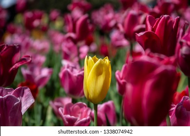 Stunning Spring yellow tulip in a bed of blood red tulips.