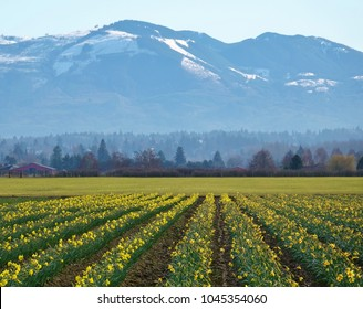 Stunning springtime scenery in Washington state looking down several rows of blooming yellow daffodils with a line of trees and snowy Cascade Mountains in the background under nice blue sky.