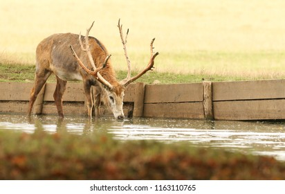 A stunning stag Milu Deer (also known as Pére David's Deer) (Elaphurus davidianus) drinking from a lake during rutting season.