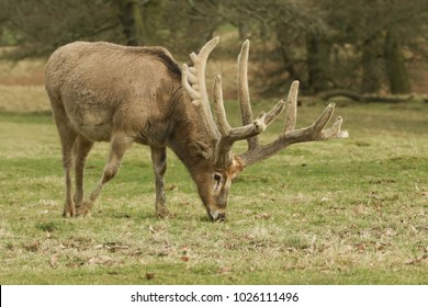 A stunning Stag Milu Deer also known as Pere David's Deer) (Elaphurus davidianus) grazing in a meadow.