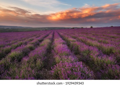 Stunning sunset in a field of lavender. Very beautiful evening landscape. A blooming field of lavender.