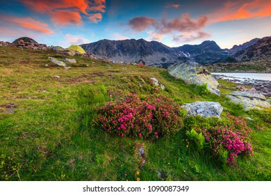 Stunning sunset landscape, famous camping place near alpine Bucura lake. Pink rhododendron mountain flowers and colorful sky with glacier lake, Retezat mountains, Transylvania, Romania, Europe