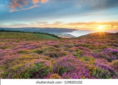 Stunning sunset over heather in bloom at Bosington near Minehead on the Somerset coast