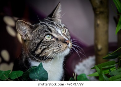 Stunning tabby and white adult cat with bright green eyes looking up out of a window.  Close up.  Detailed striking markings. Dark background.