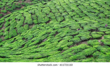 A stunning top view on the tea plantation in Cameron Highlands, Malaysia. Small figures of people are lost between green islands of the tea bushes.