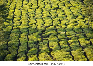 Stunning view of a green tea plantation during a beautiful sunset. Darjeeling tea is a tea grown in the Darjeeling district, Kalimpong District in West Bengal, India.