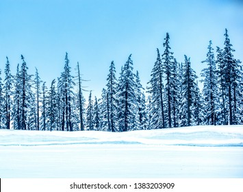 Stunning View of The Snowy Mountain Hemlock (Tsuga mertensiana) Trees at Mt Bachelor in Central Oregon on a Sunny Winter Day