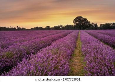 Stunning warm Summer sunset over epic lavender field landscape
