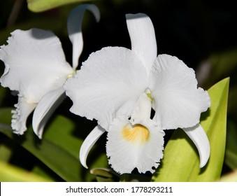 Stunning white Cattleya trianae, an orchid species, in bloom.