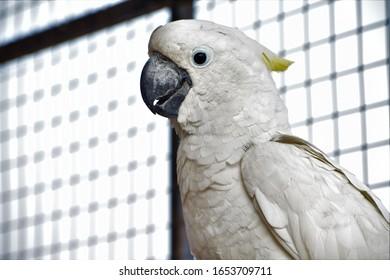 stunning white Krakatoa bird closeup portrait
