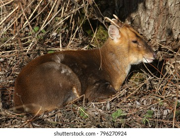 A stunning wild stag Muntjac Deer (Muntiacus reevesi) resting under a tree enjoying the winter sun.