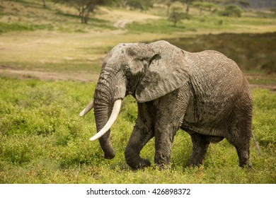 Stunning wildlife photography with large elephant in the african savanna during the rainy season