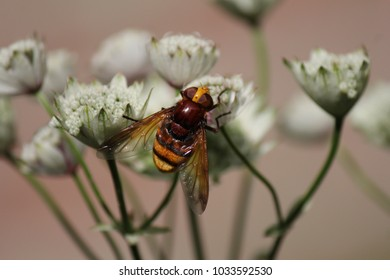 a stunning yellow striped hoverfly pollinates a white astrantia flower in the garden at a summer day closeup