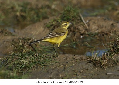 A stunning Yellow Wagtail, Motacilla flava, hunting for insects to eat in a marshy meadow in the UK.