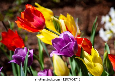 Stunningly beautiful and colorful purple, red and yellow tulips on a bright breezy,  and sunny afternoon in a city park.