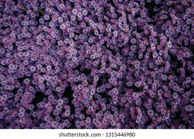Stunningly beautiful flower bed of purple asters. Flowers Spring.