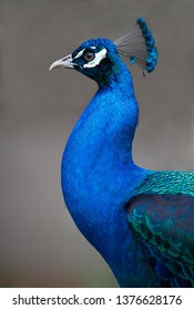 Stunningly beautiful peacock with iridescent feathers - profile view