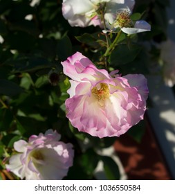 Stunningly magnificent romantic beautiful exotic pale pink and white heritage roses blooming in late autumn after a shower of rain add fragrance and color to the urban landscape.