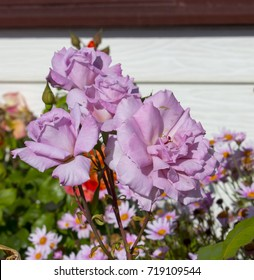 Stunningly  magnificent romantic beautiful   mauve Angel Face florabunda  rose blooming  in  spring and  summer adds fragrance and color to the urban  landscape.